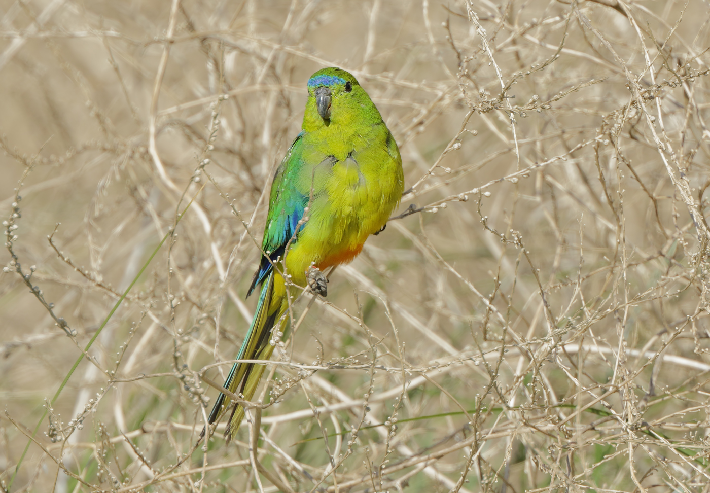Orange-bellied Parrot (Image ID 30270)