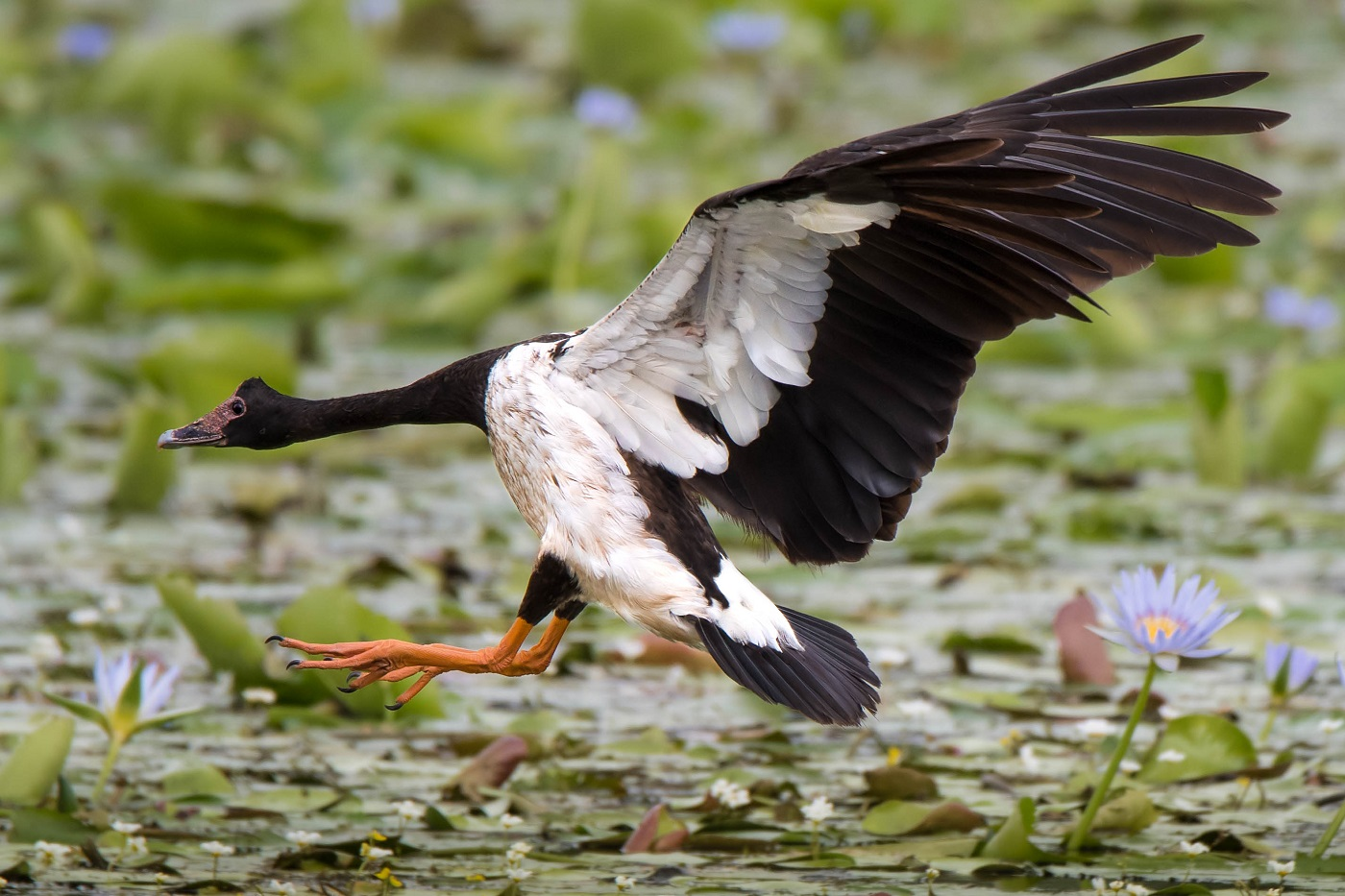 Magpie Goose (Image ID 30085)