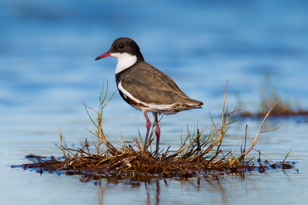 Red-kneed Dotterel (Image ID 30136)