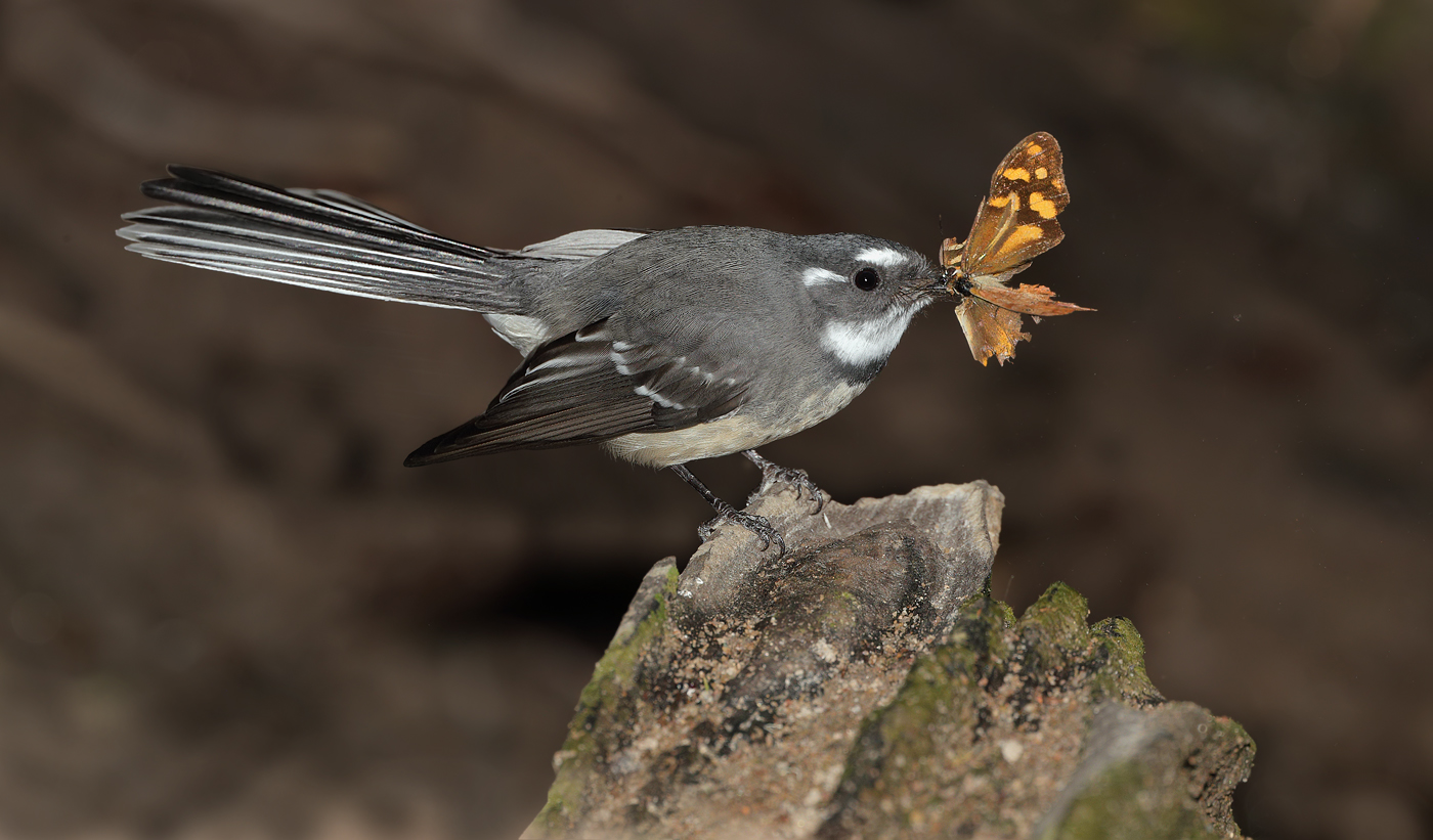 Grey Fantail (Image ID 30169)