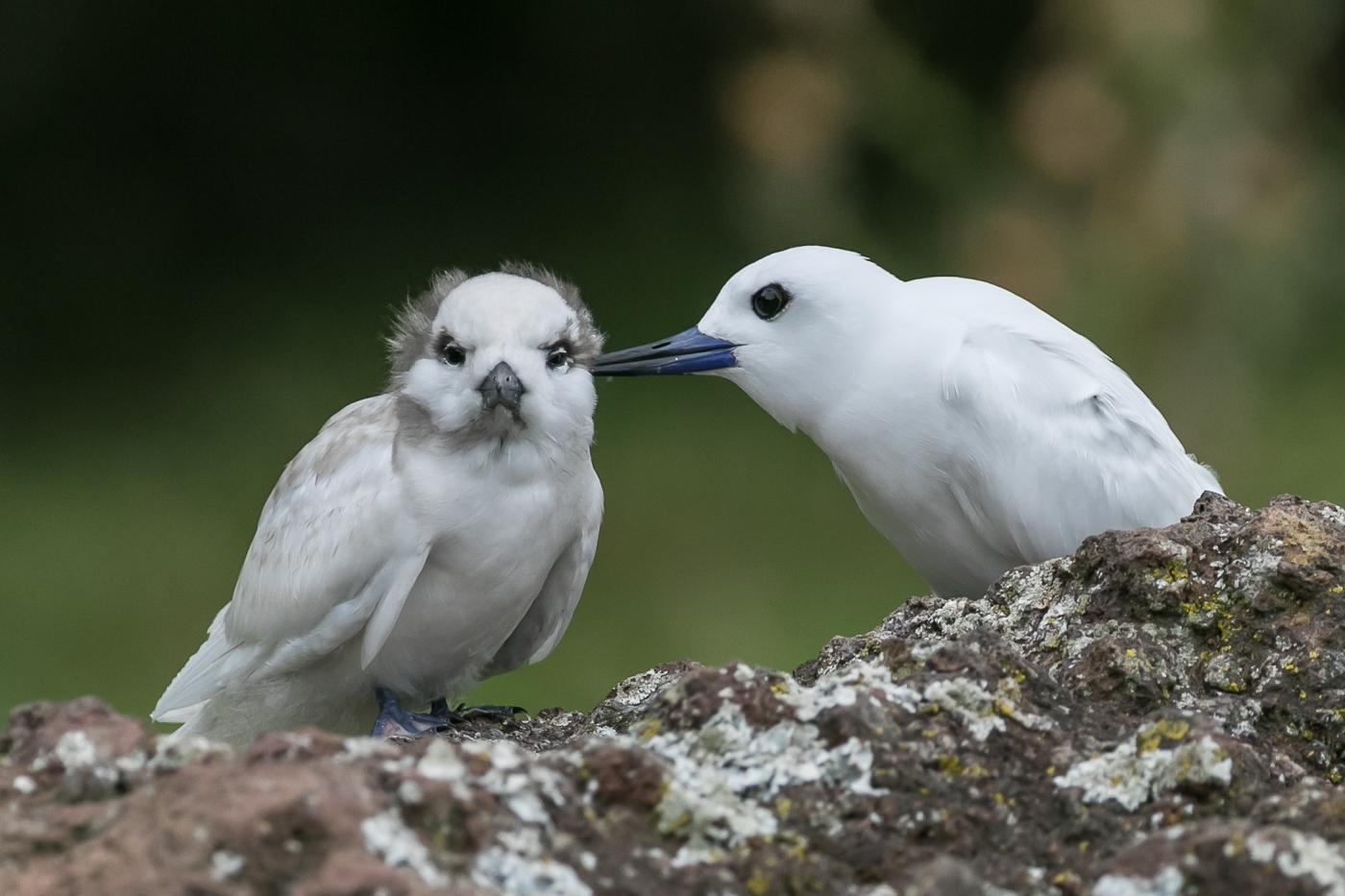 White Tern (Image ID 30093)