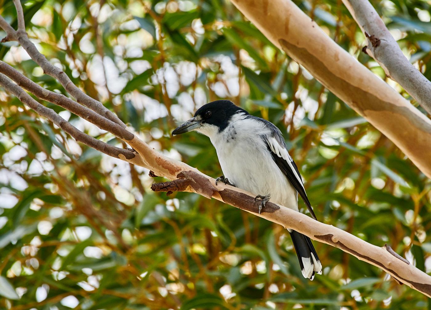 Grey Butcherbird (Image ID 30159)