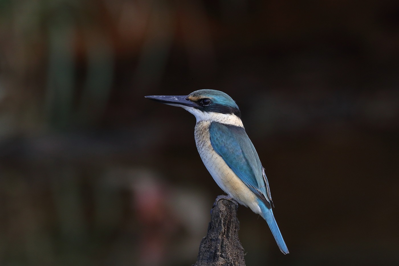 Sacred Kingfisher (Image ID 30121)