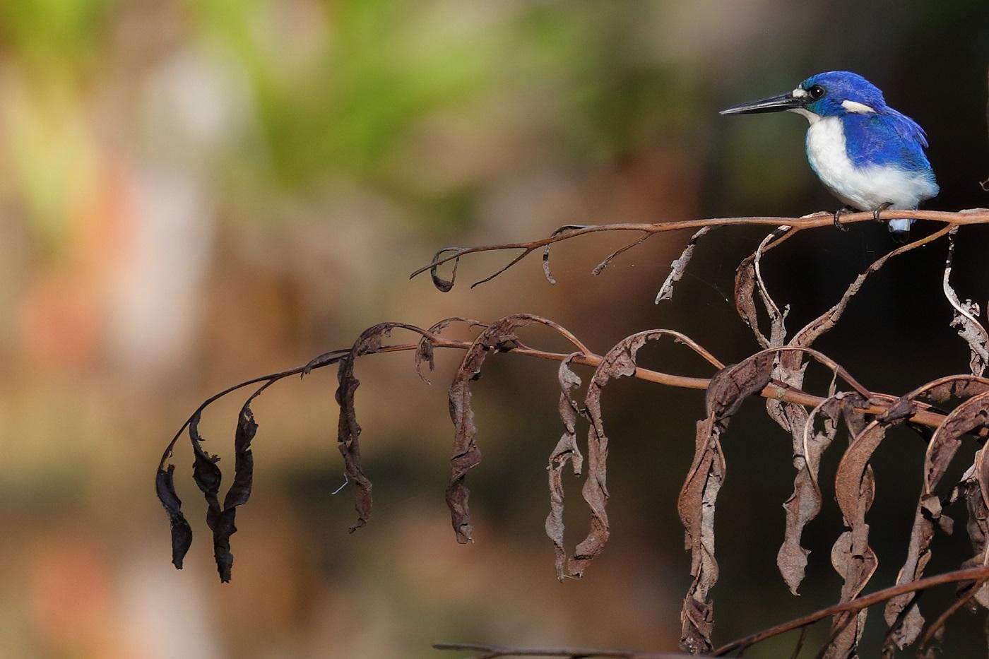 Little Kingfisher (Image ID 30272)