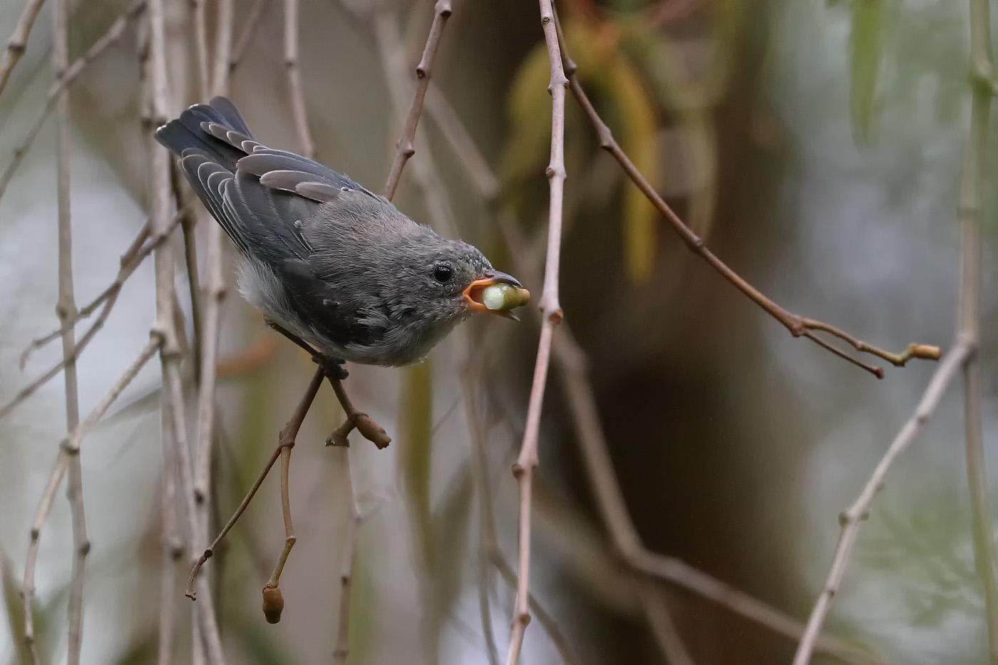 Mistletoebird (Image ID 30442)