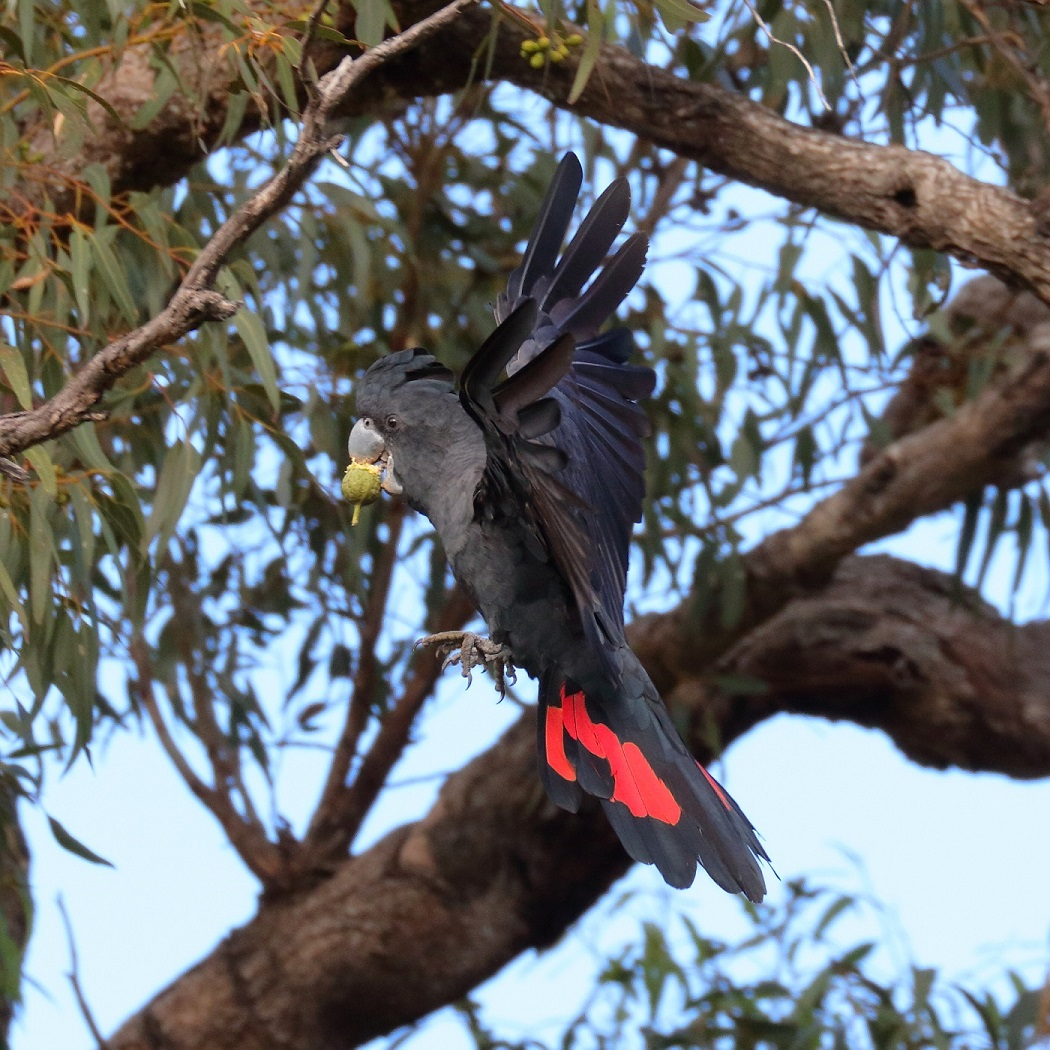 Red-tailed Black-Cockatoo (Image ID 30255)