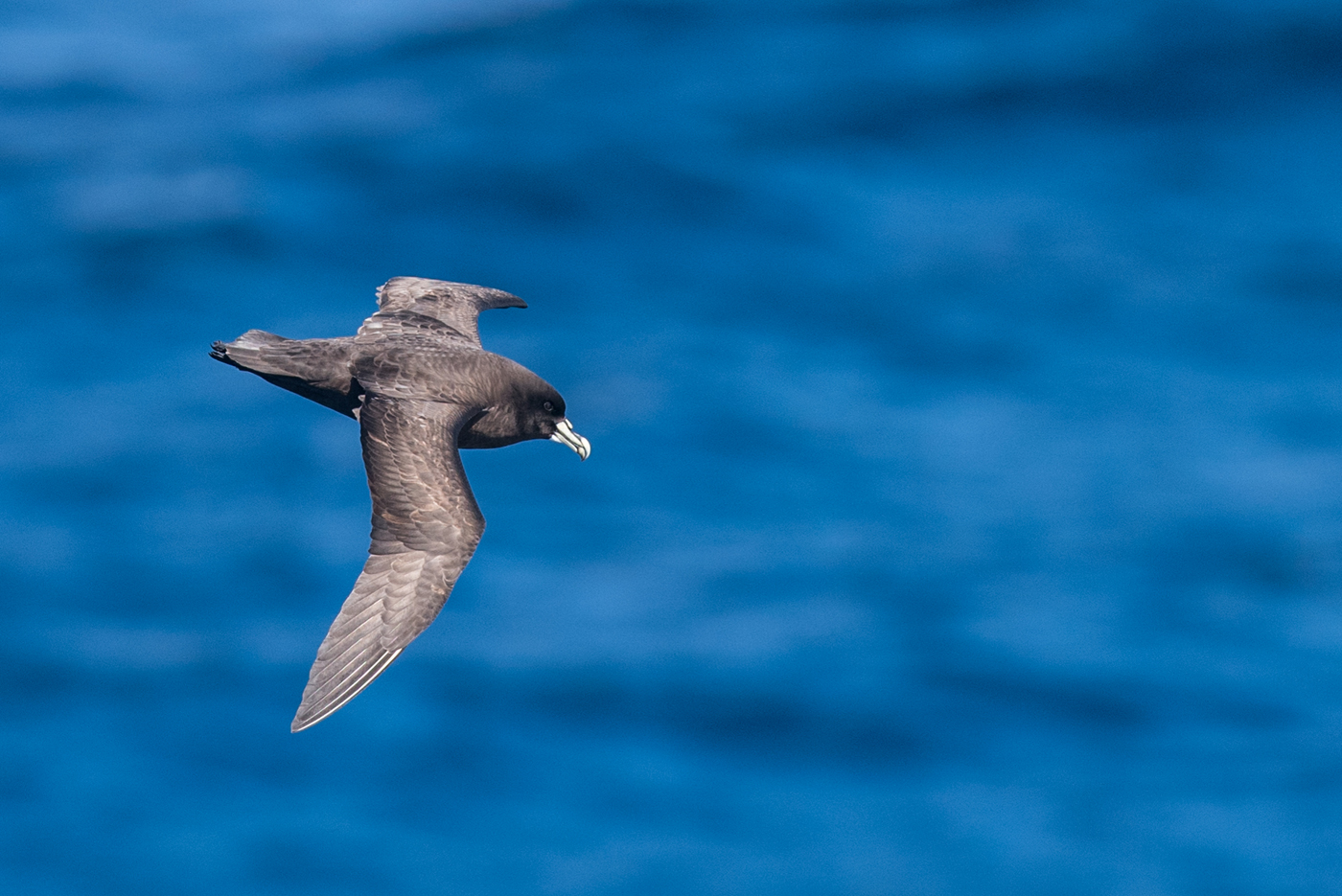 White-chinned Petrel (Image ID 30184)