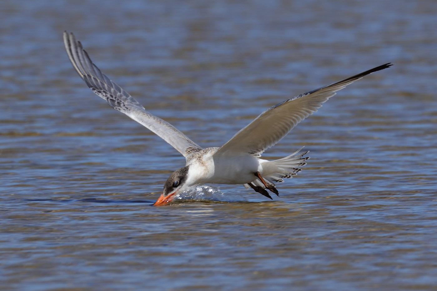 Caspian Tern (Image ID 30167)