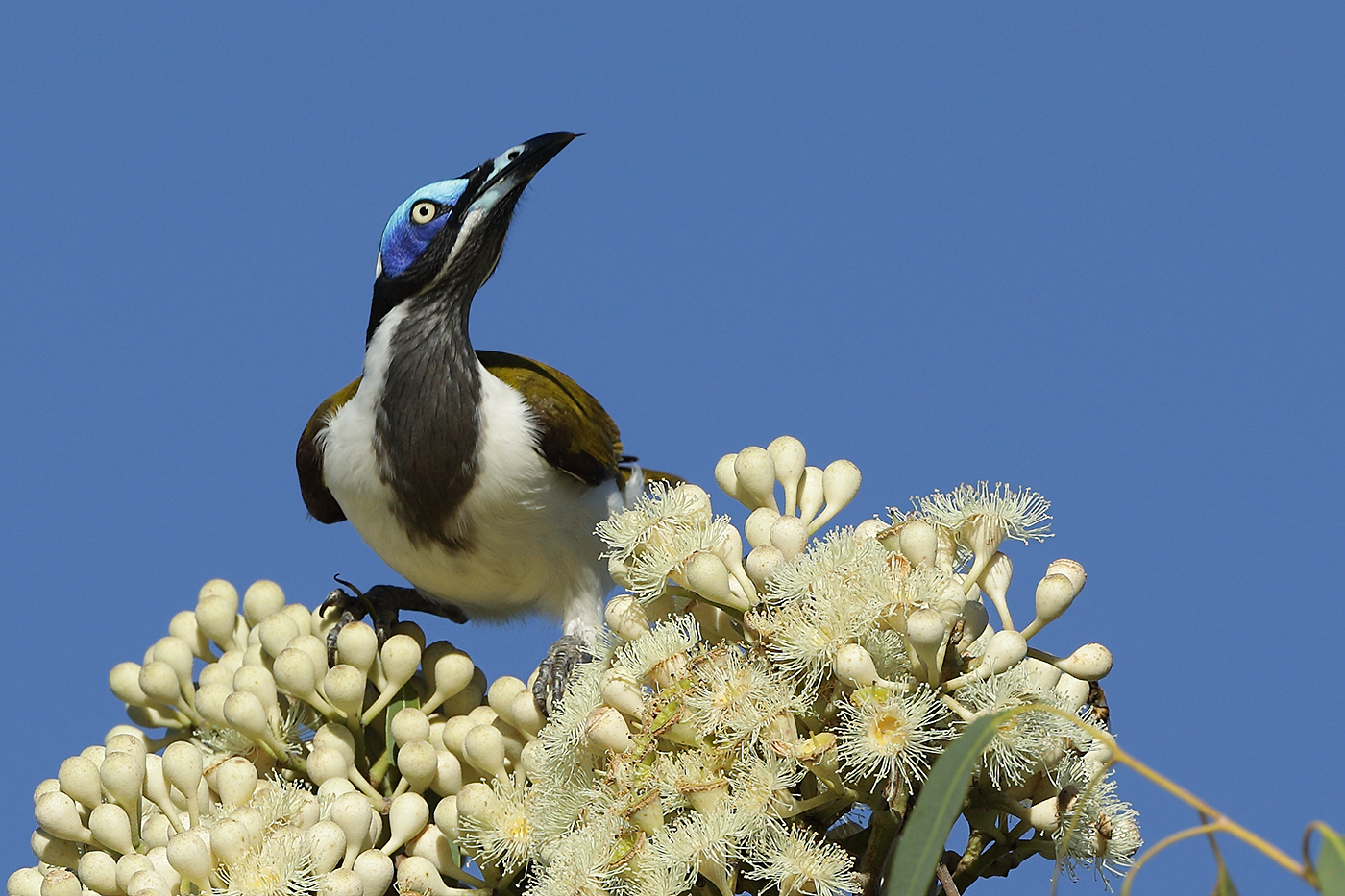 Blue-faced Honeyeater (Image ID 30214)