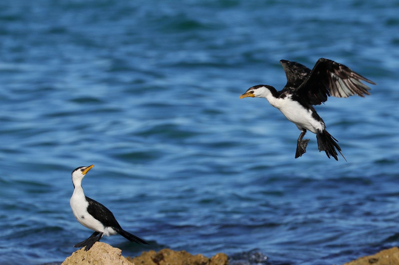 Little Pied Cormorant (Image ID 30104)