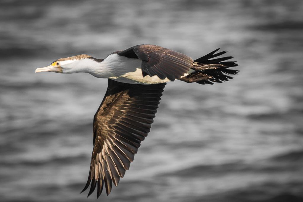 Great Pied Cormorant (Image ID 30332)
