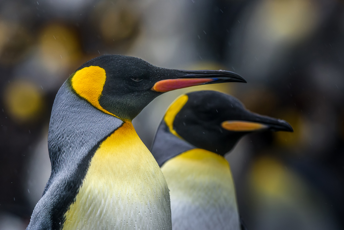King Penguin (Image ID 30207)