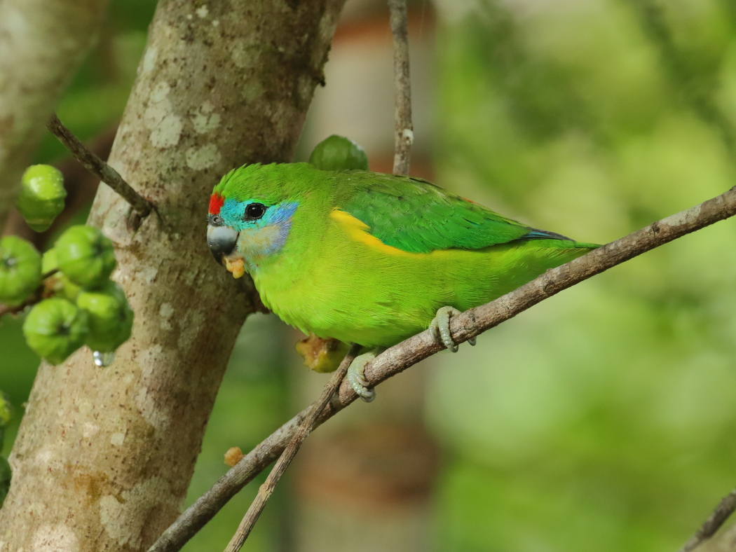 Double-eyed Fig-Parrot (Image ID 30179)