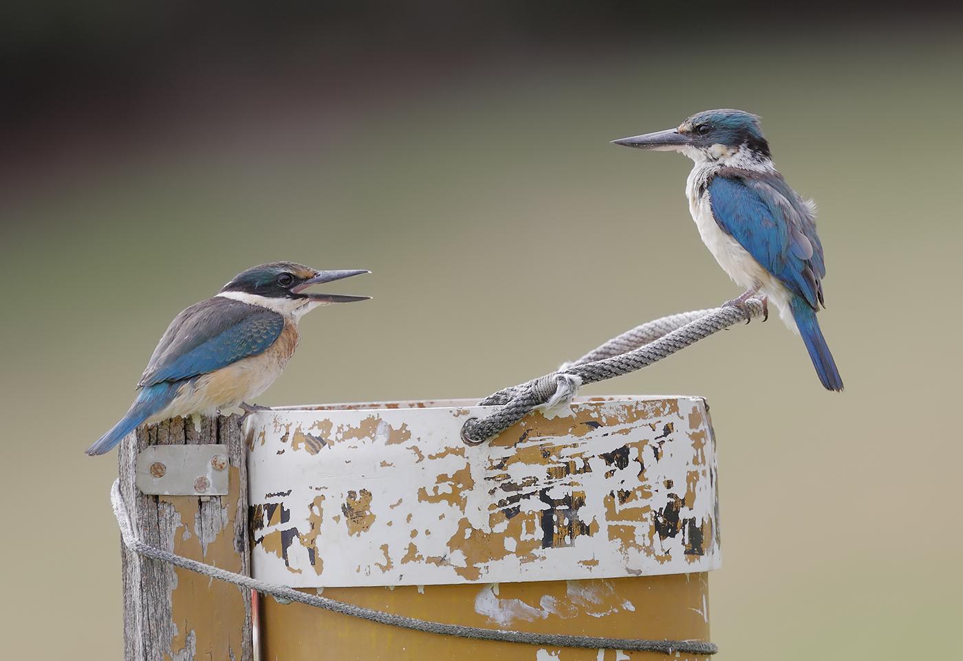 Sacred Kingfisher (Image ID 30114)