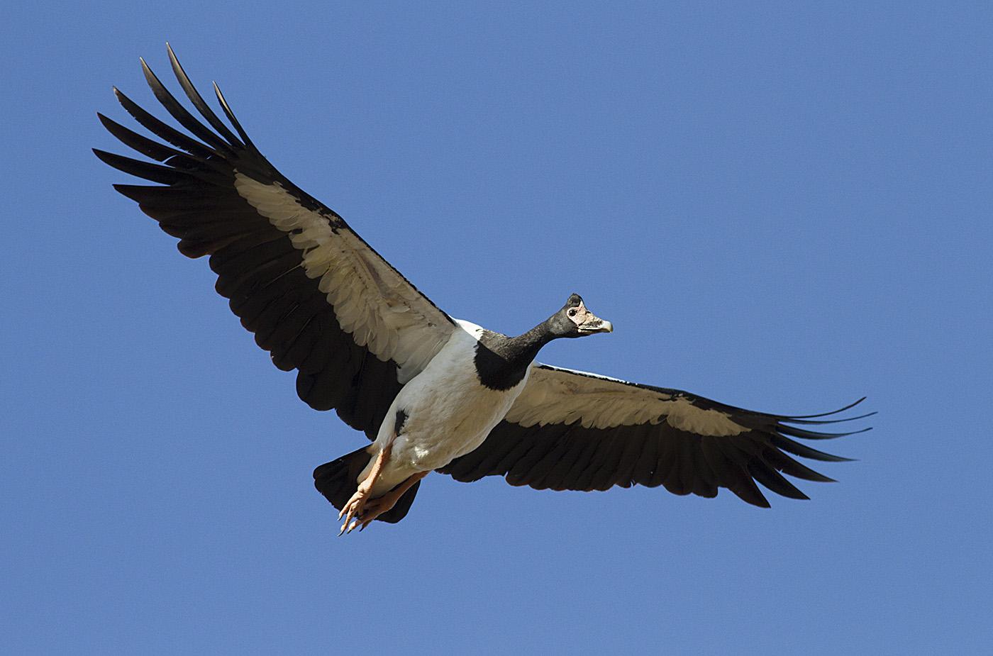 Magpie Goose (Image ID 30437)
