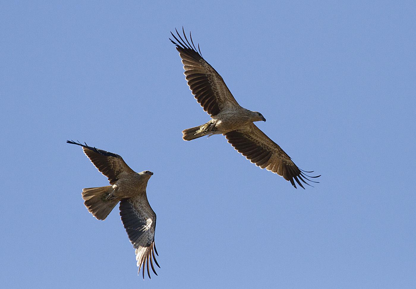 Whistling Kite (Image ID 30158)