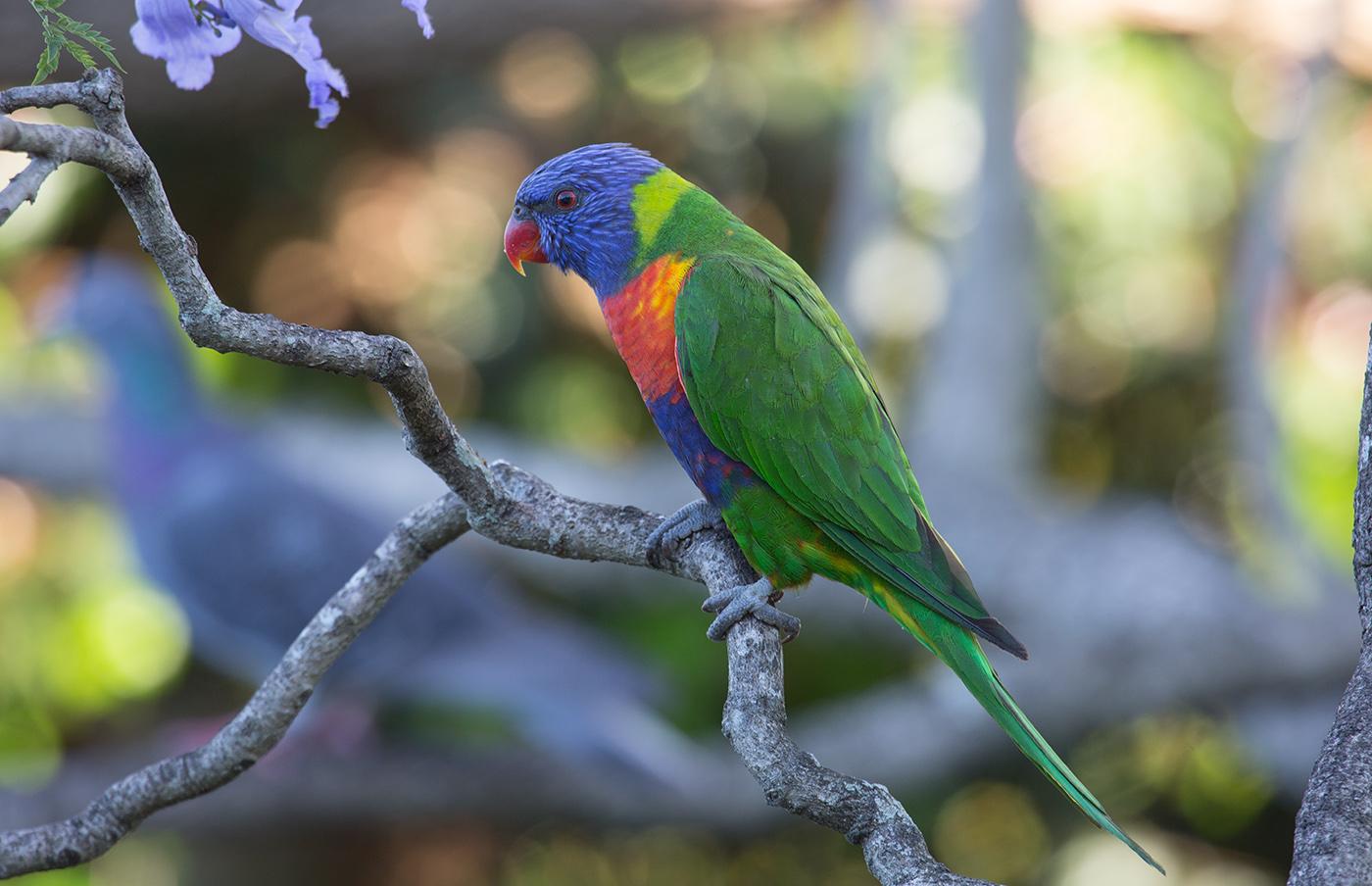 Rainbow Lorikeet (Image ID 30250)
