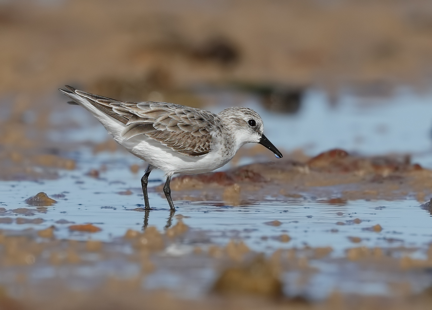 Red-necked Stint (Image ID 30161)