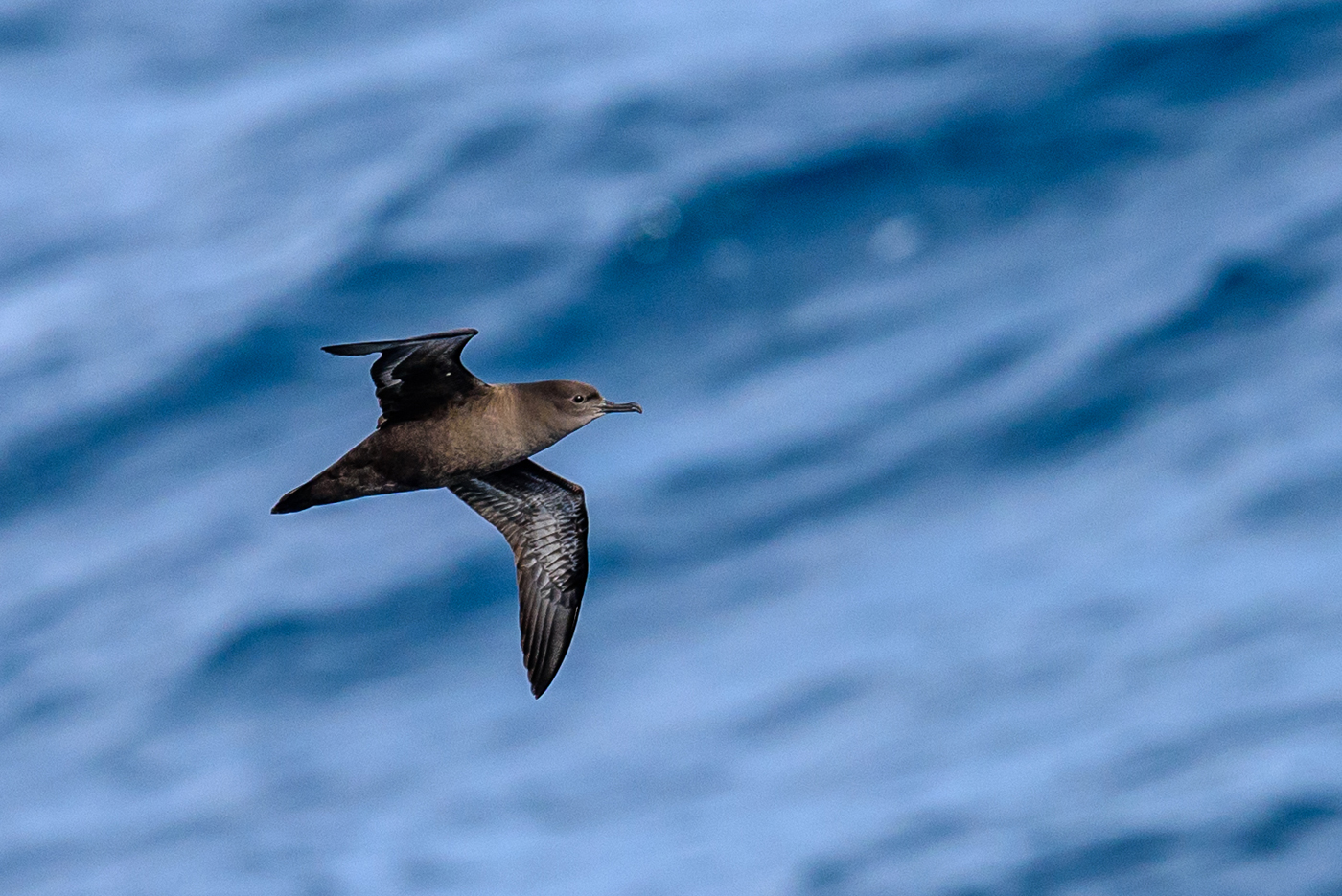 Sooty Shearwater (Image ID 30176)