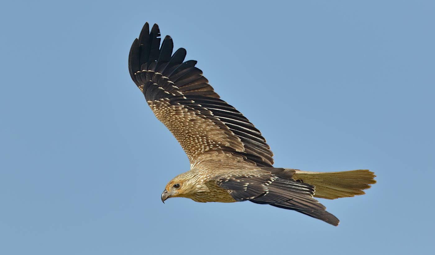 Whistling Kite (Image ID 30145)