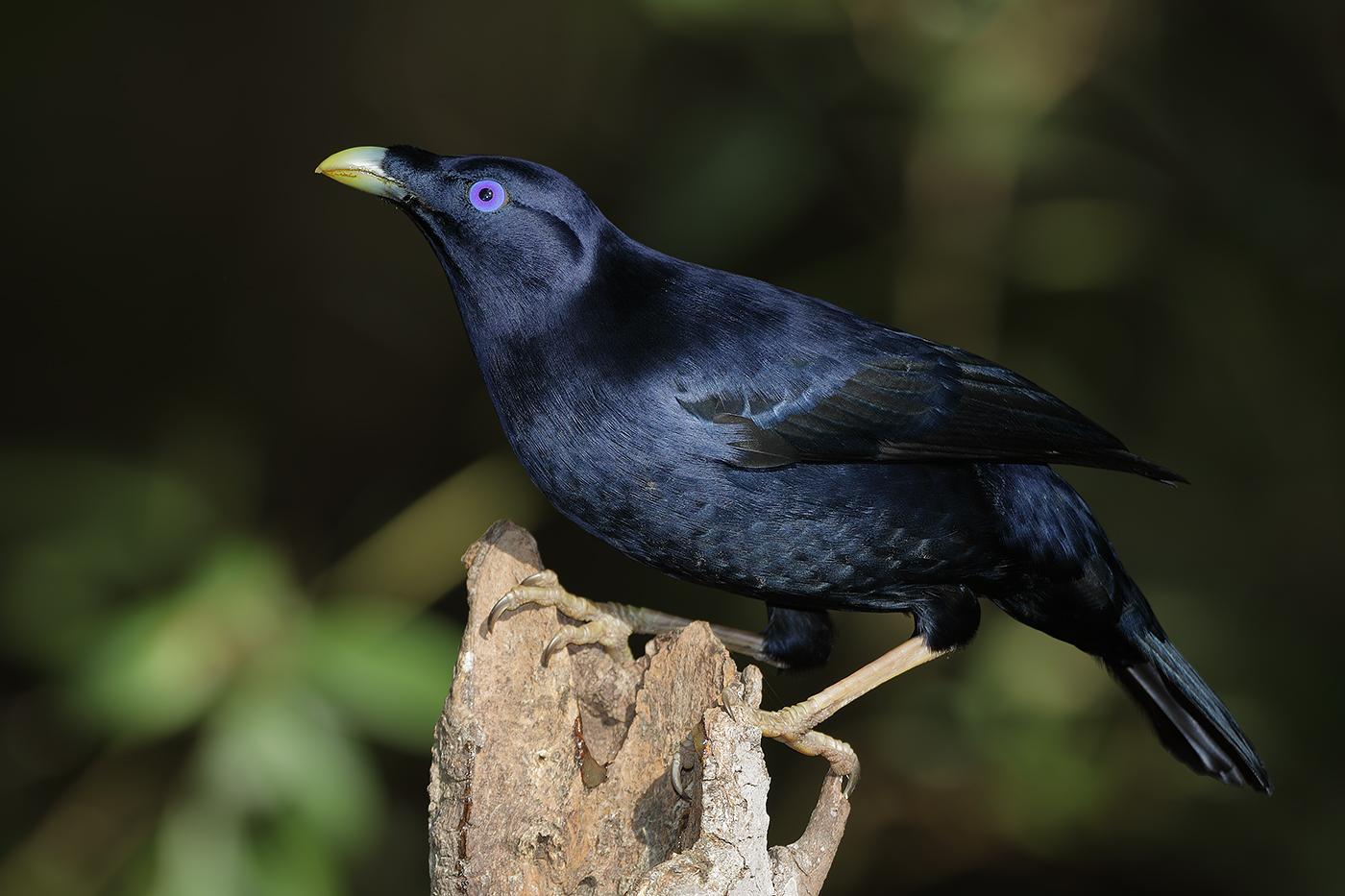 Satin Bowerbird (Image ID 30187)