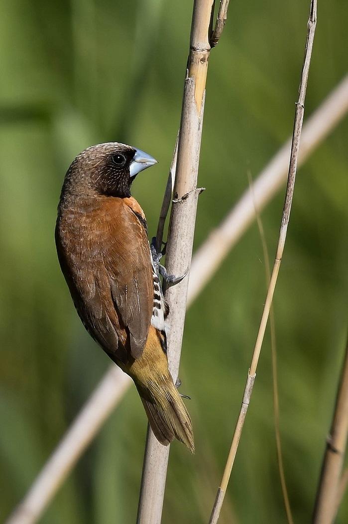 Chestnut-breasted Mannikin (Image ID 30106)
