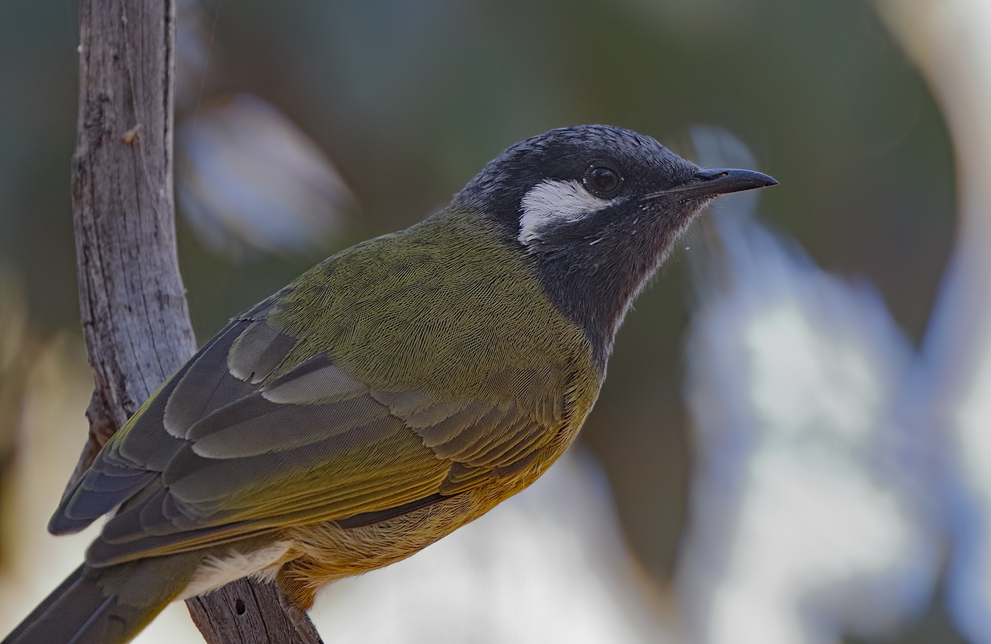 White-eared Honeyeater (Image ID 30142)