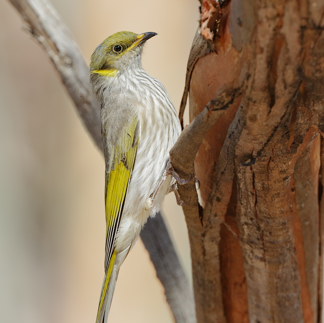 Yellow-plumed Honeyeater (Image ID 30143)