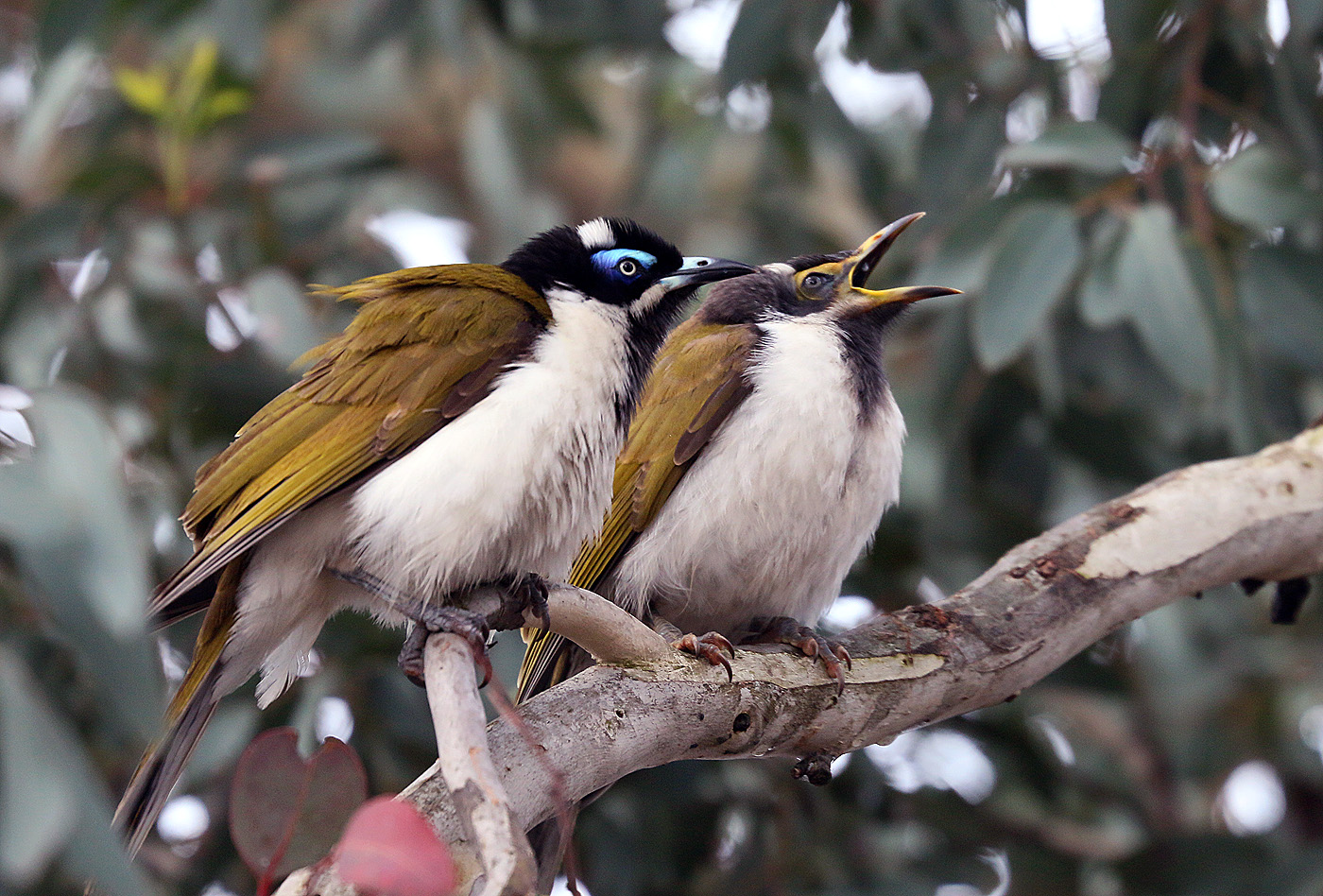 Blue-faced Honeyeater (Image ID 30066)