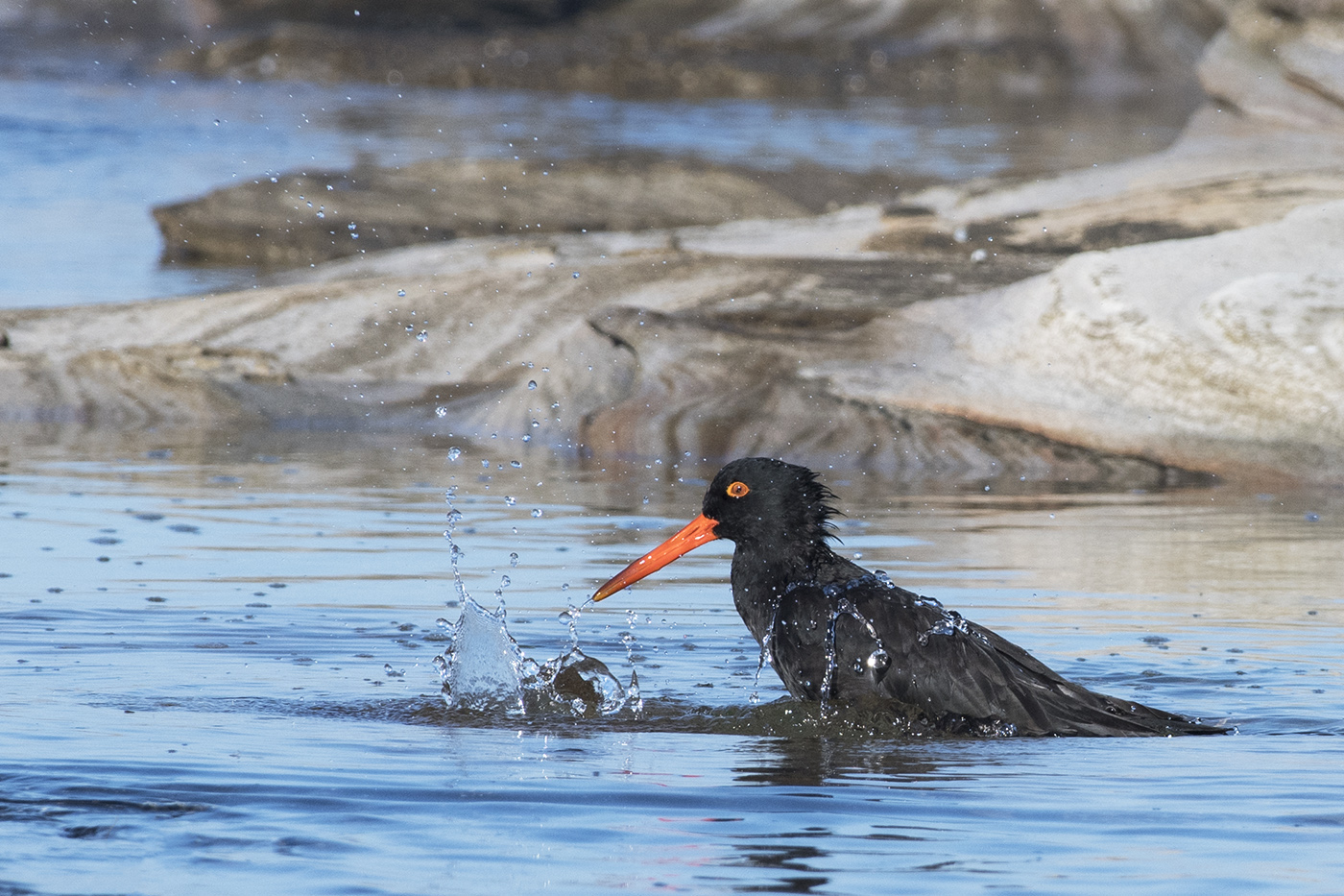 Sooty Oystercatcher (Image ID 30067)