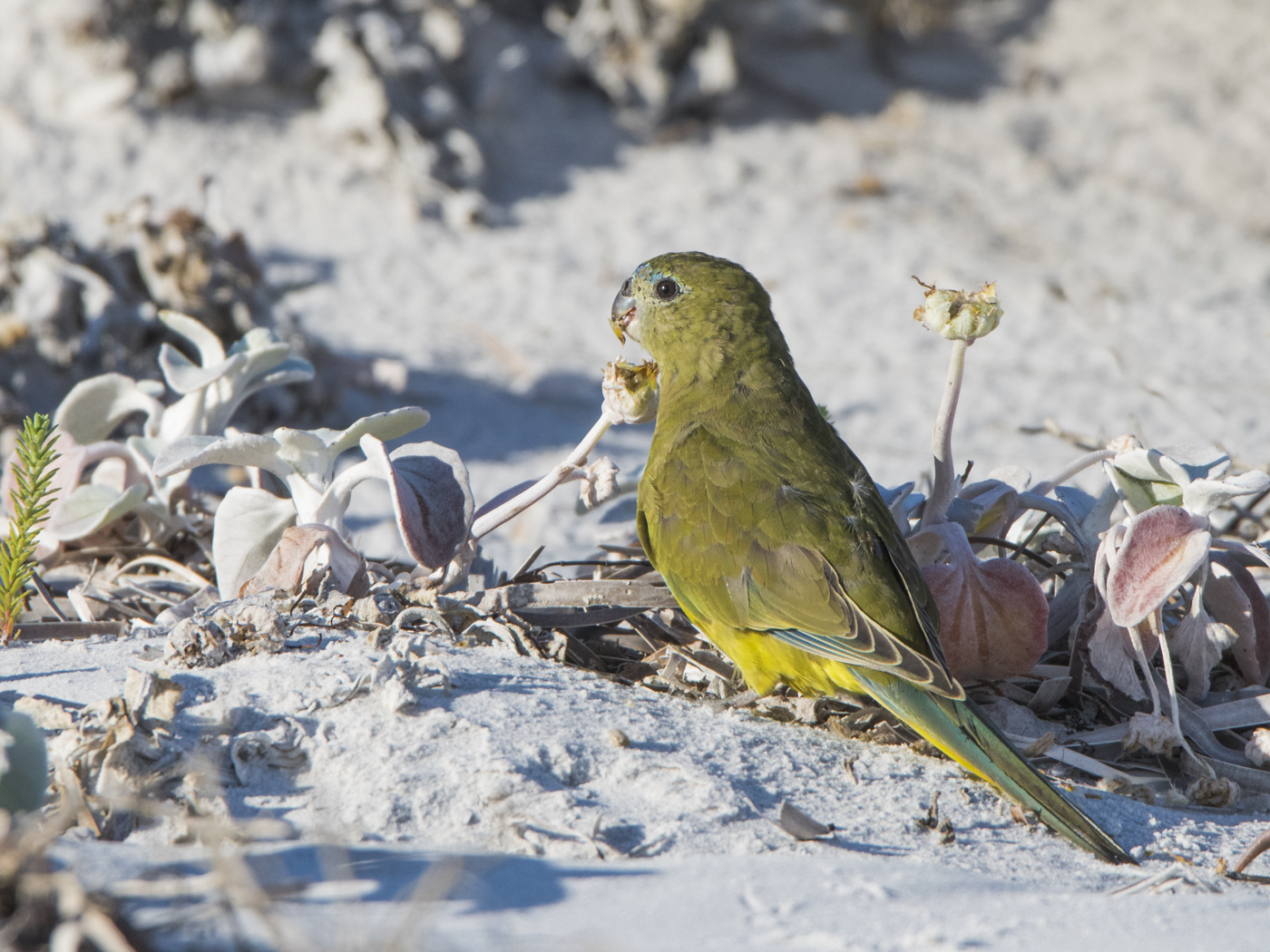 Rock Parrot (Image ID 30244)