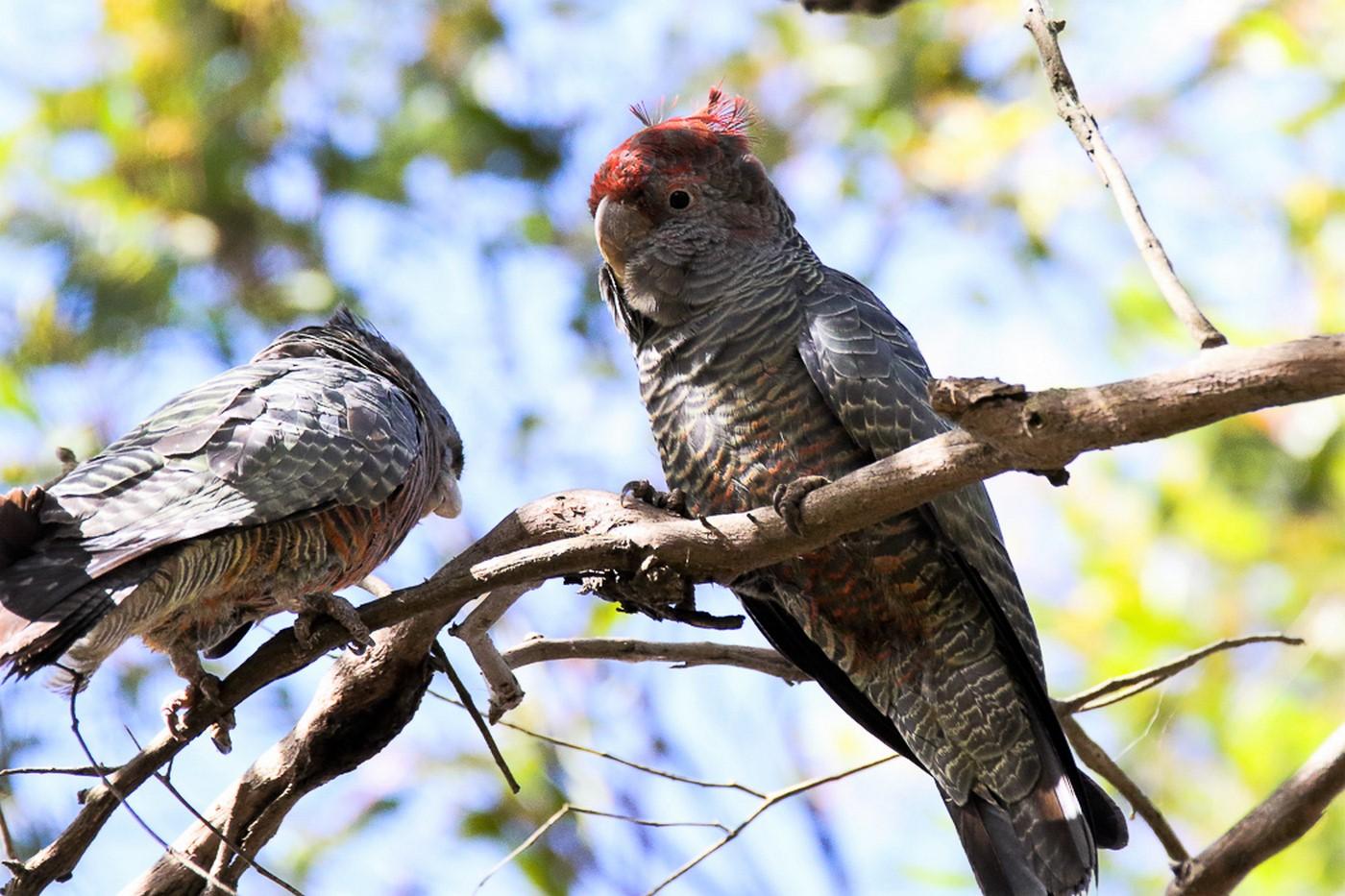 Gang-gang Cockatoo (Image ID 30133)