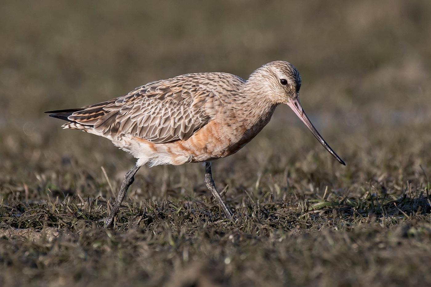 Bar-tailed Godwit (Image ID 30108)