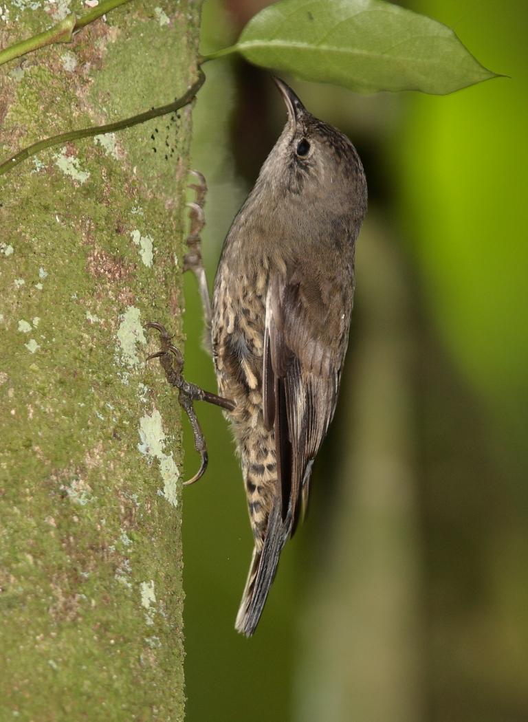 White-throated Treecreeper (Image ID 30200)
