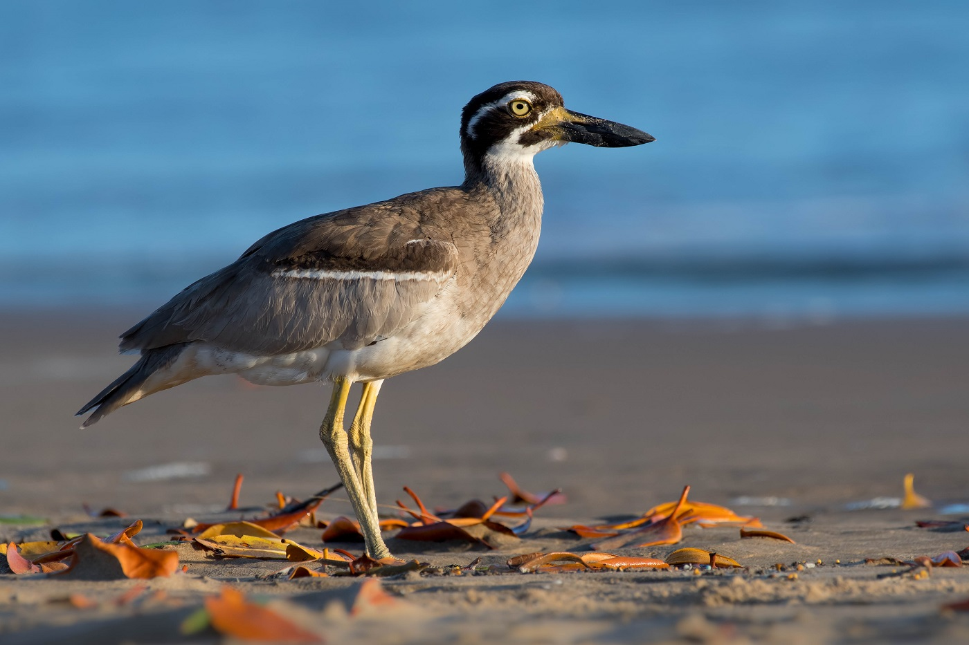 Beach Stone-curlew (Image ID 30107)