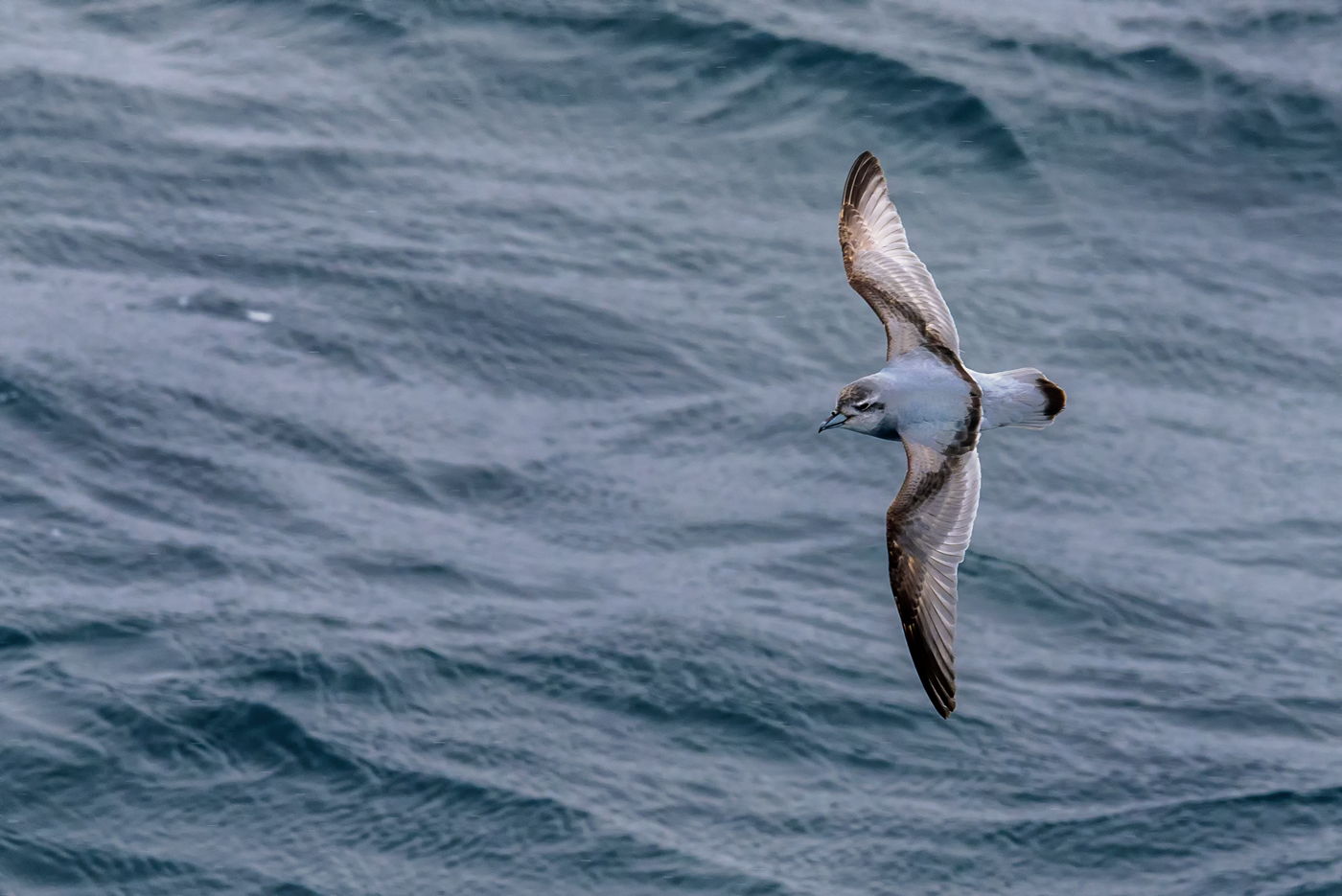 Antarctic Prion (Image ID 30151)