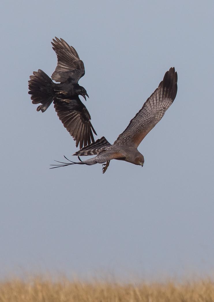 Little Raven, Spotted Harrier