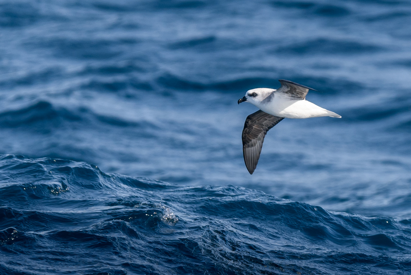 White-headed Petrel (Image ID 30723)