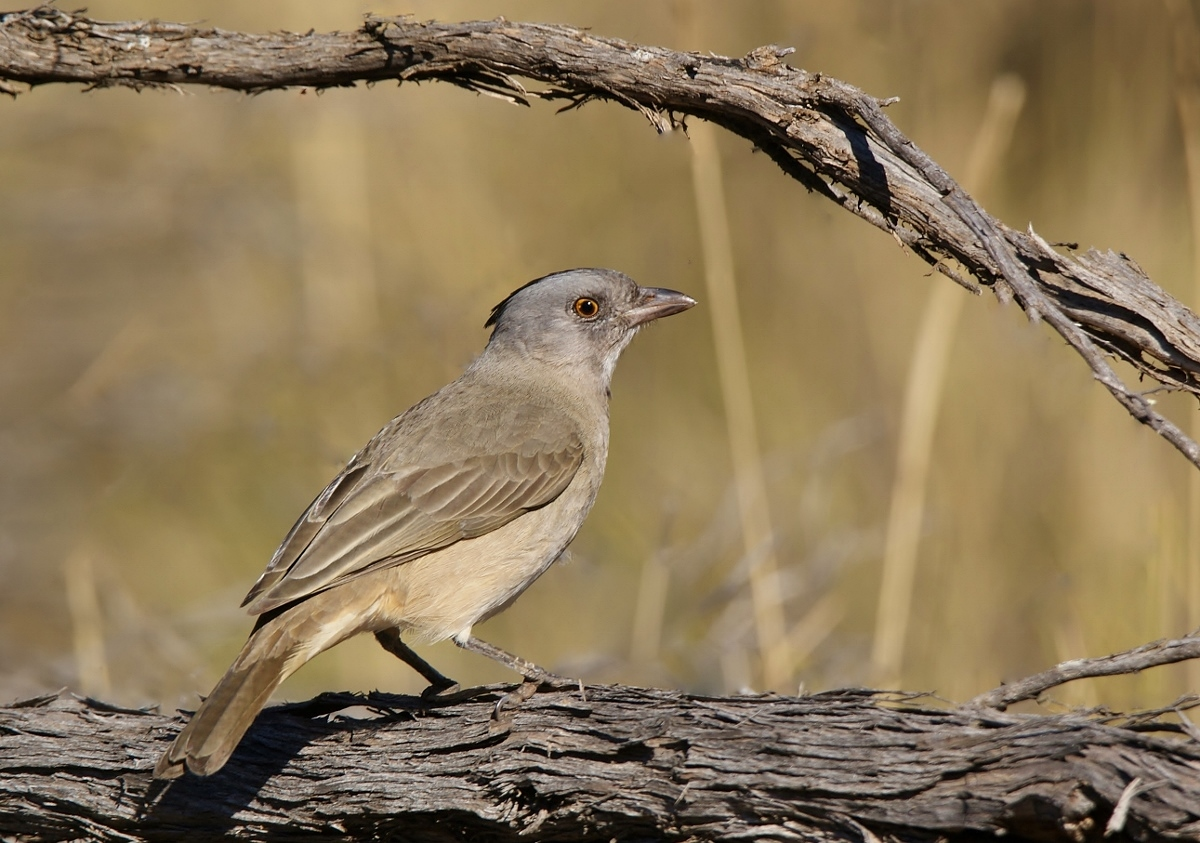 Crested Bellbird