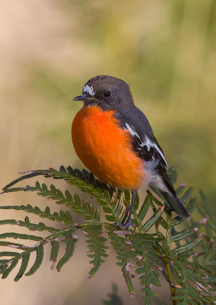 Flame Robin (Image ID 30669)