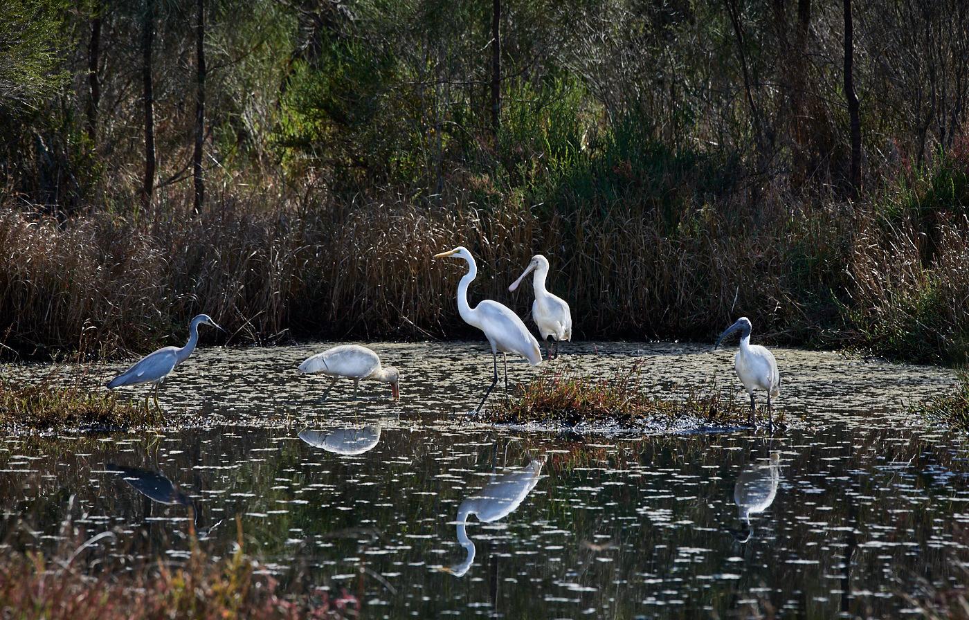 Australian White Ibis, Great Egret, White-faced Heron, Yellow-billed Spoonbill