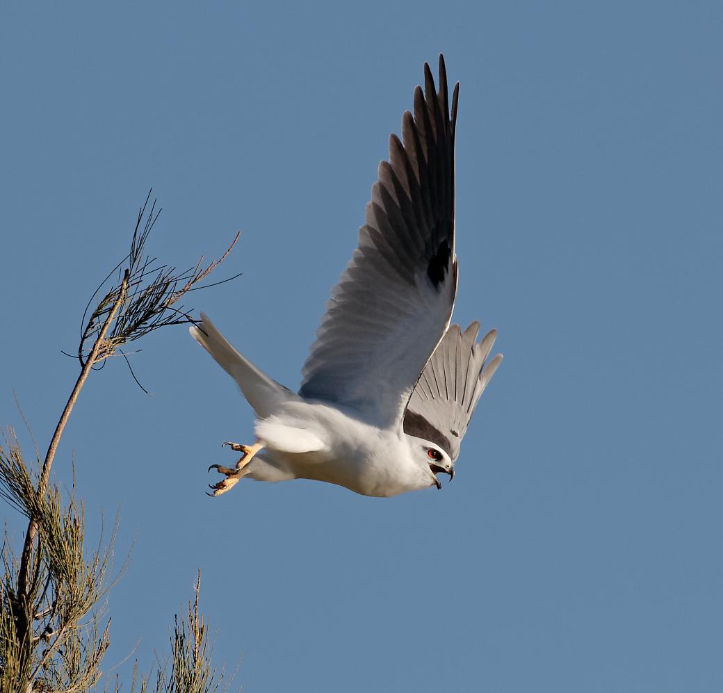 Black-shouldered Kite (Image ID 30692)