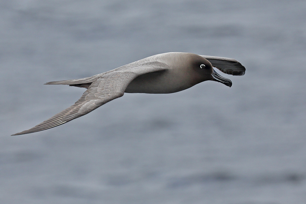 Light-mantled Sooty Albatross (Image ID 30528)