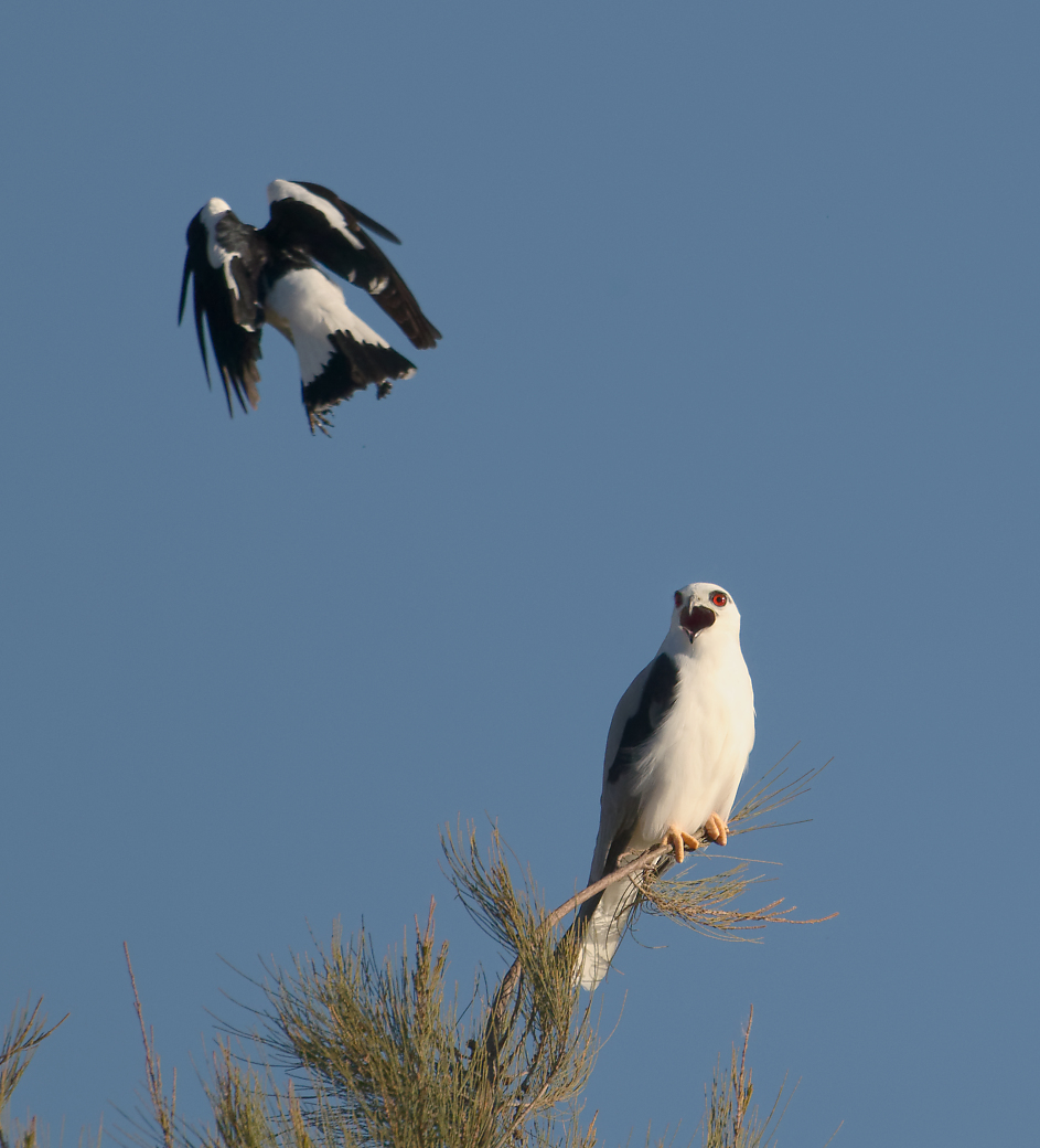 Black-shouldered Kite,Magpie-lark (Image ID 30690)