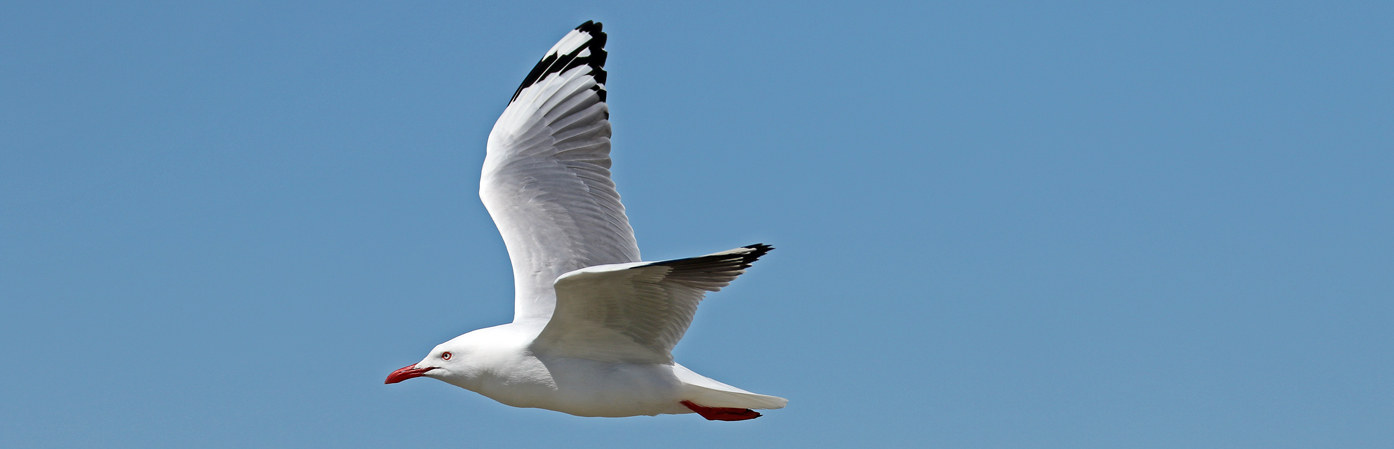 Silver Gull (Image ID 30450)
