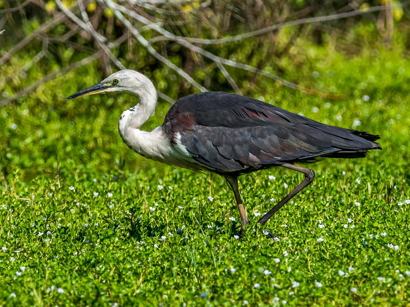 White-necked Heron (Image ID 30686)
