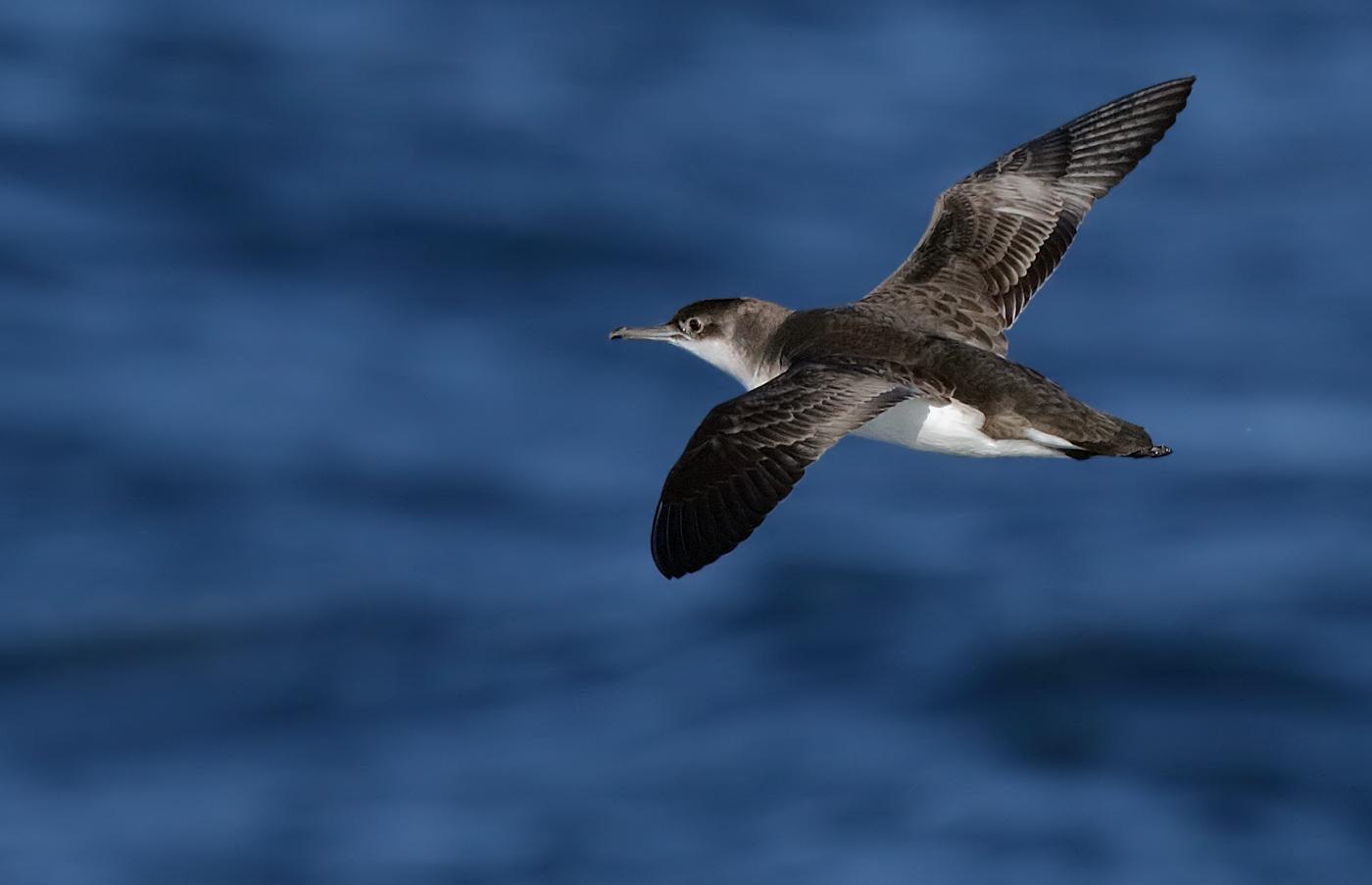 Fluttering Shearwater (Image ID 30716)