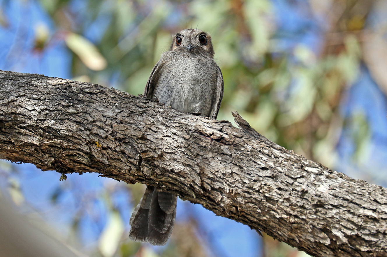 Australian Owlet-nightjar (Image ID 30451)
