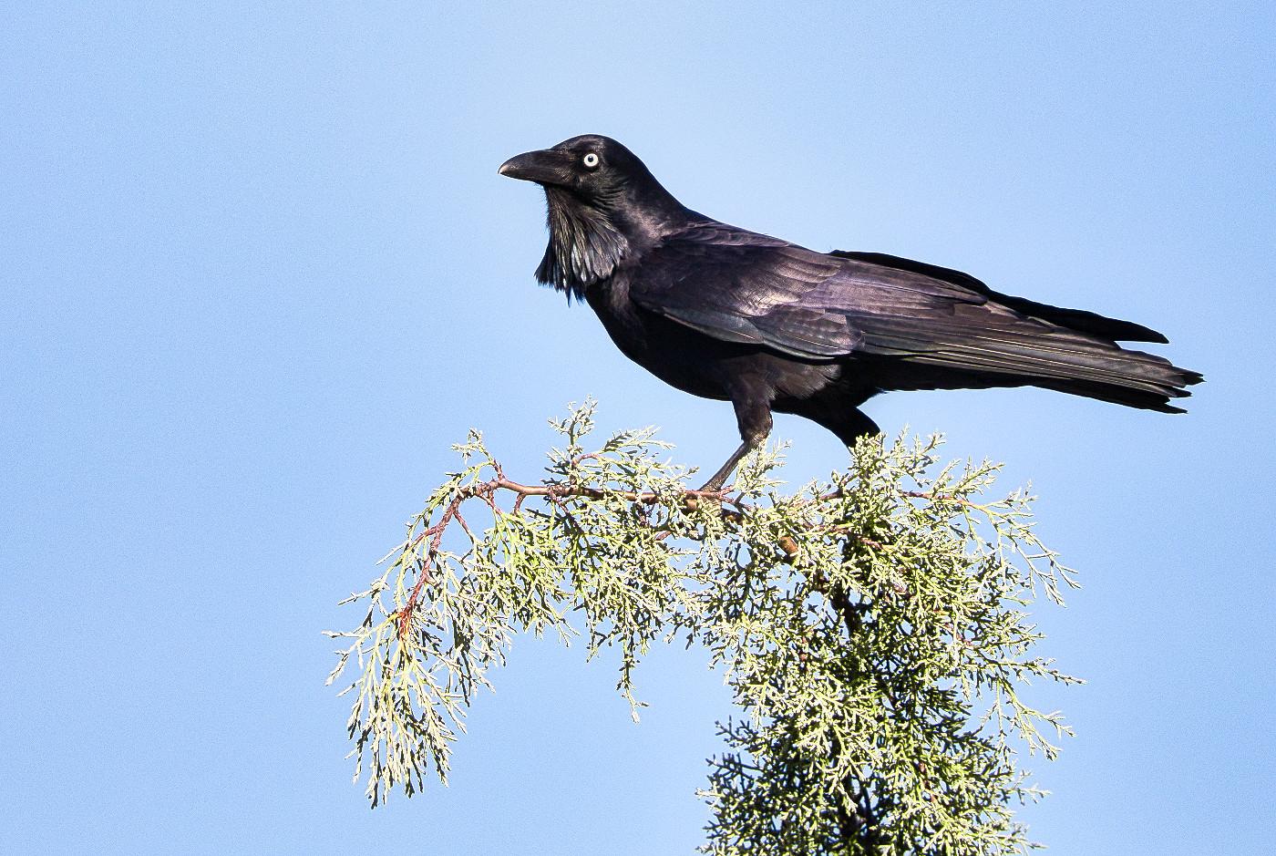 Australian Raven (Image ID 30449)