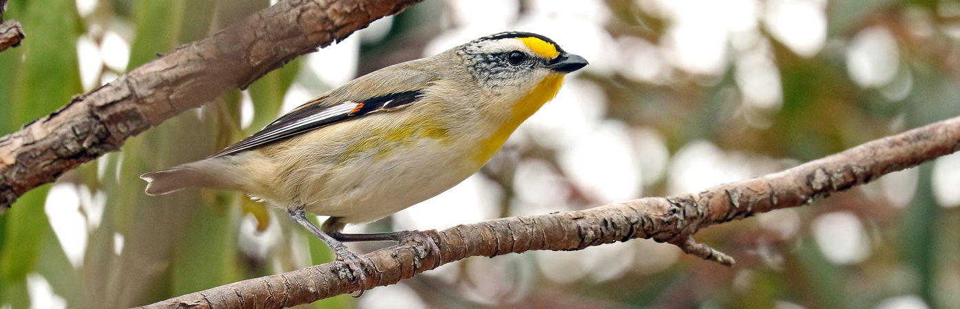 Striated Pardalote (Image ID 30541)